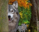 voir la news WOLF: WILD, WOOLY AND WONDERFUL